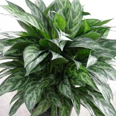 Aglaonemas Low Light Plants Houseplant Guide Holly17 Mrowl