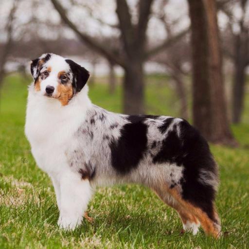 Miniature American Shepherd > Dog Breeds