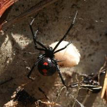 Black Widows Spiders And Scorpions Invertebrates